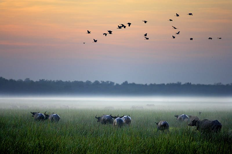 Buffalo in a grassy fiel with fog on a pink and orange horizon; all-inclusive resort adventures