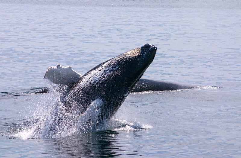A large humpback whale emerges from the water; Perfect weekend Boston