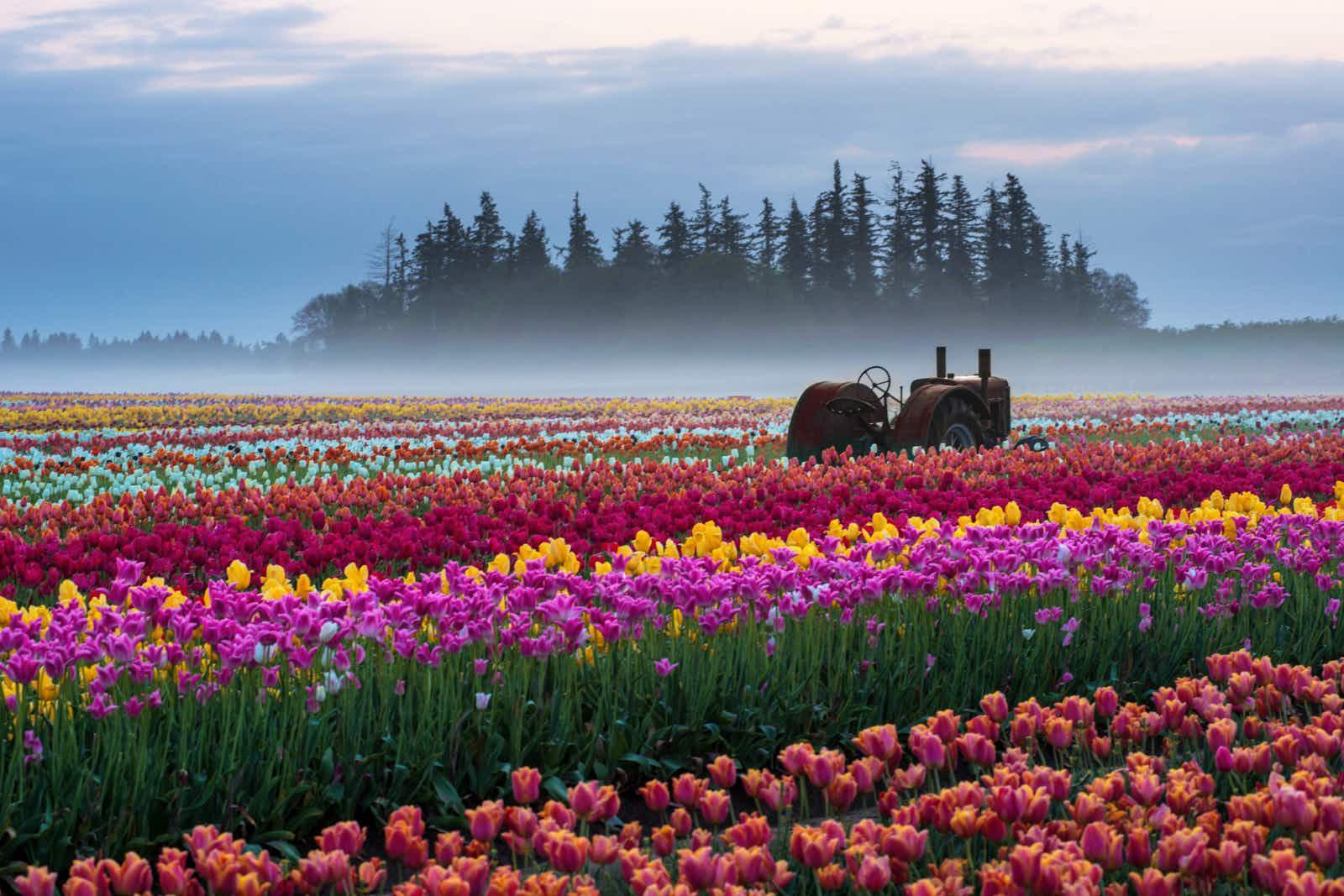 A tulip farm in Oregon © Piriya Photography / Moment / Gett