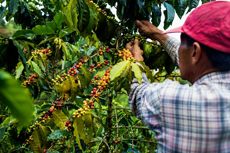 A man wearing a red hat and checked shirt picks cherries from a coffee tree in the rural highlands of Colombia's Coffee Triangle to make Colombian coffee