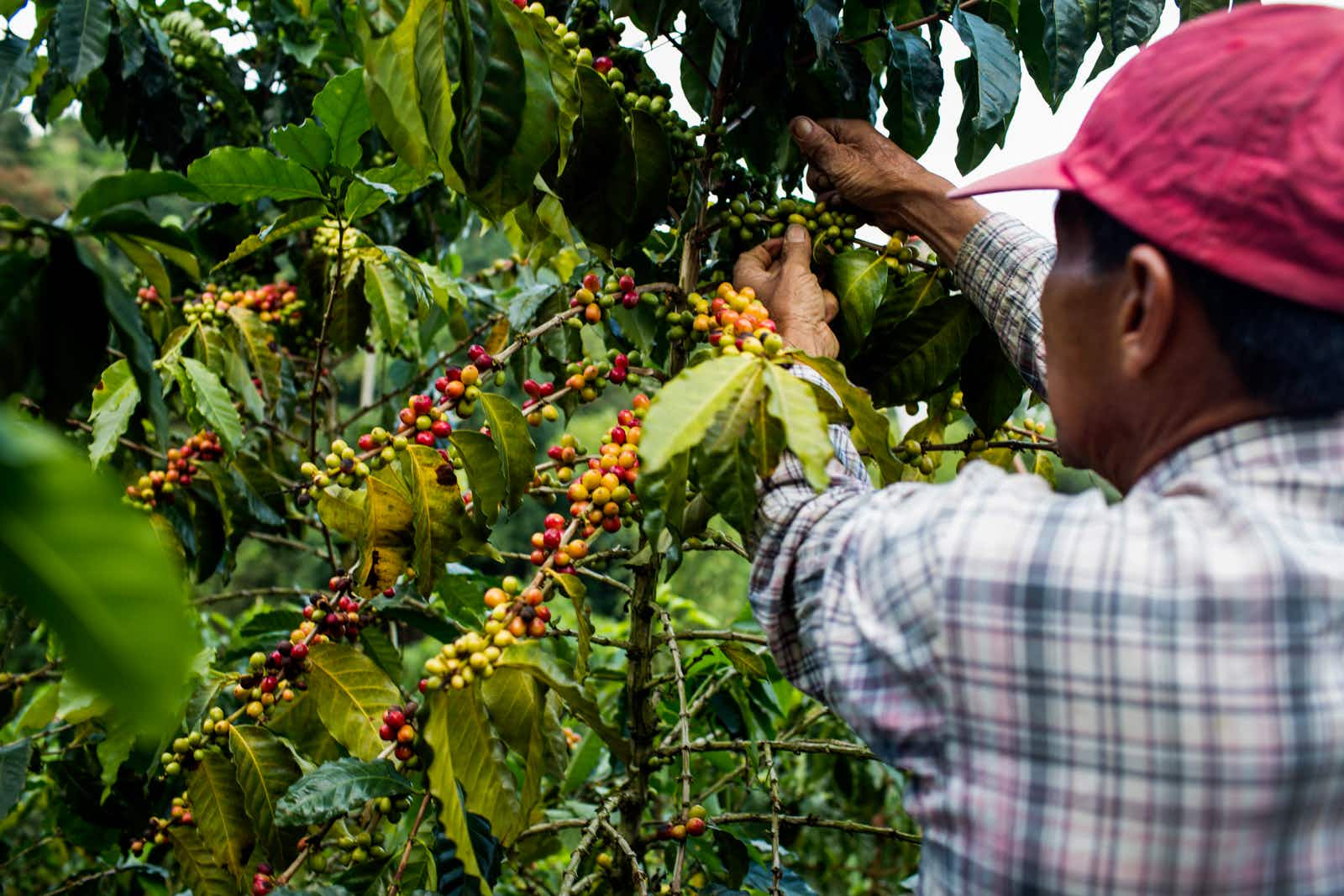 A man picks cherries at a farm in the rural highlands of Colombia's Coffee Triangle © Modoc Stories / Getty Images