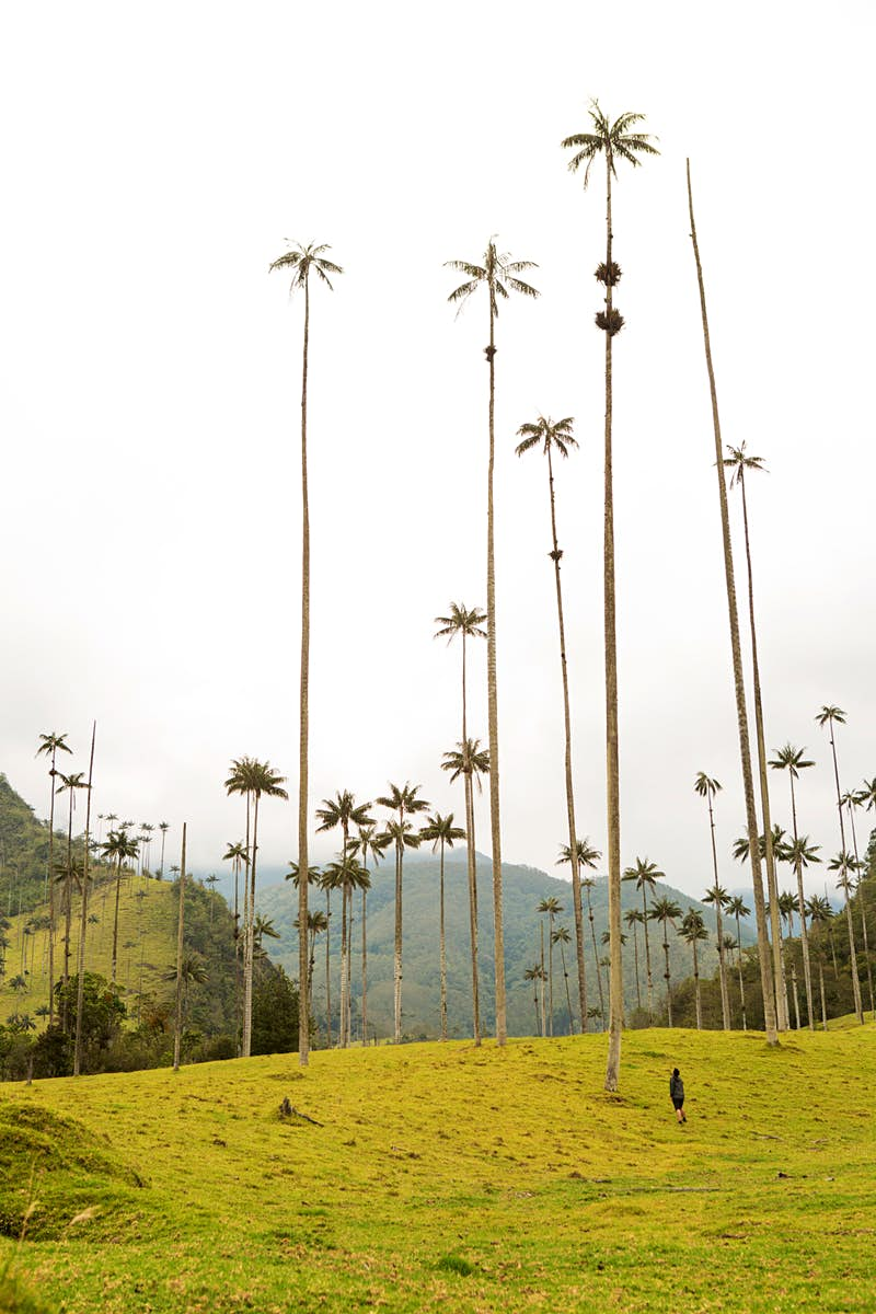 A person looks up toward the tops of wax palms, with foggy mountains in the background