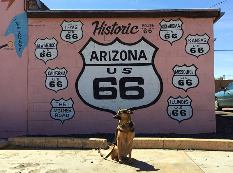 A german shepherd stands in front of a pink cinder block wall painted with a mural featuring the iconic Route 66 highway marker; Travel with dogs