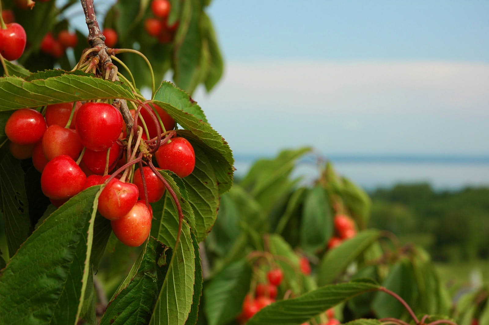 A close up shot of bright red cherries growing on a tree with a vast lake in the background