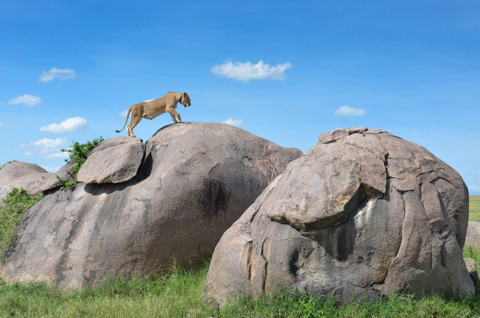 A female lion standing on top of a large boulder in the Serengeti National Park © roevin / Getty Images