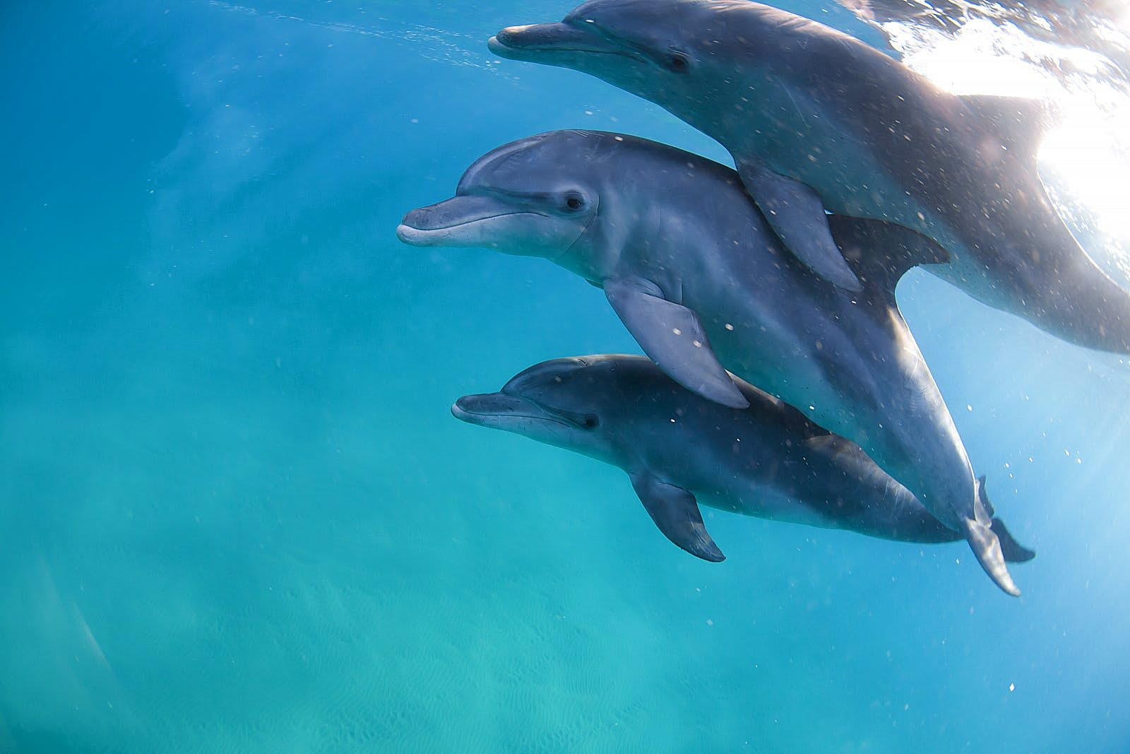Three bottlenose dolphins swimming close together in clear water; each is bigger than the one below it.