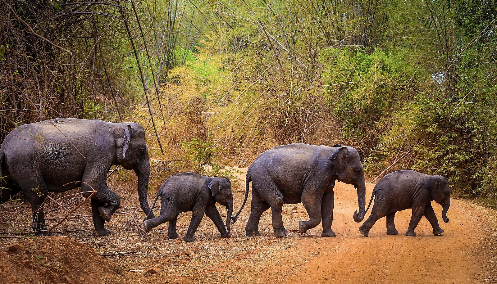 A family of elephants - two adults and two calves - crossing a tree-lined dirt road in Sri Lanka.