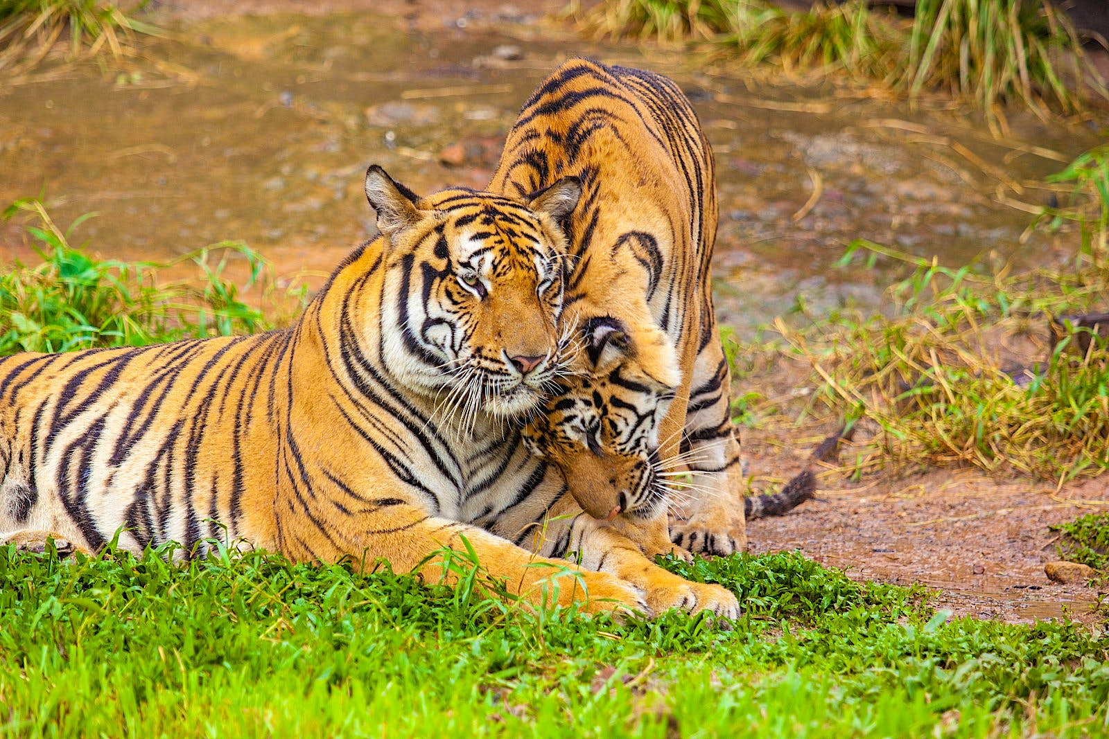 One tiger is lying on marshy grassland; another is cuddling up to it.