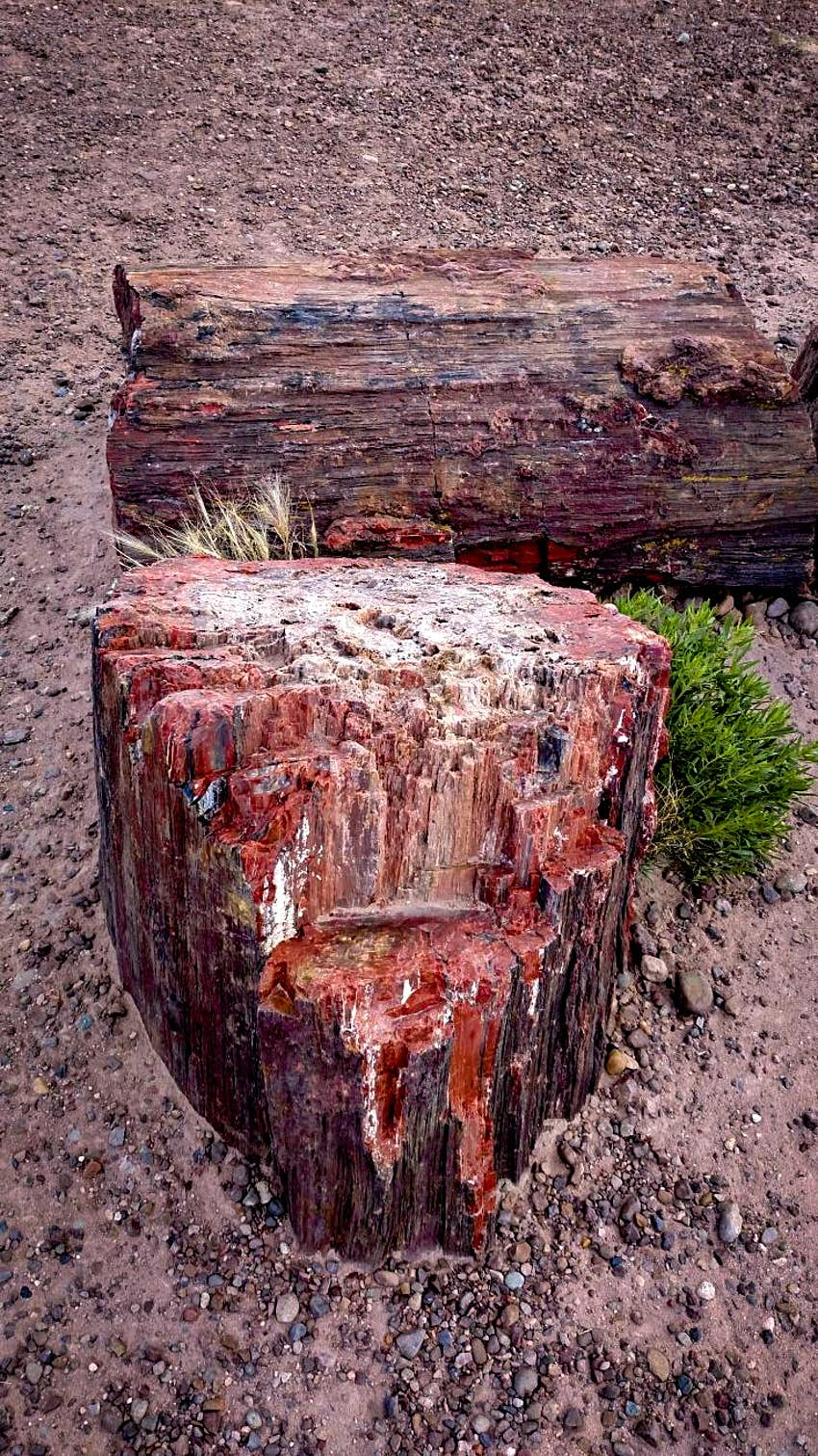 A close-up of petrified wood at Petrified Forest National Park. The wood is a reddish-brown color, and it sits in dry, stony soil, with a small, bright green bush beside it.