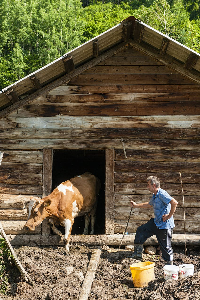 A brown and white cow steps out from a barn at Mustafa Nikqi's guesthouse