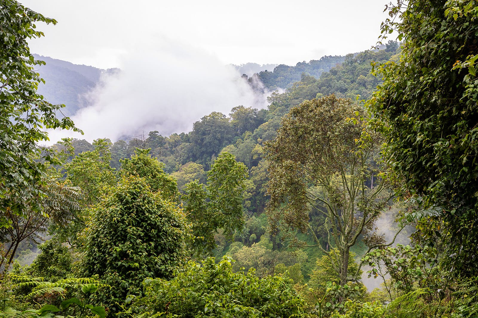 Low clouds hang above a hilly section of rainforest.