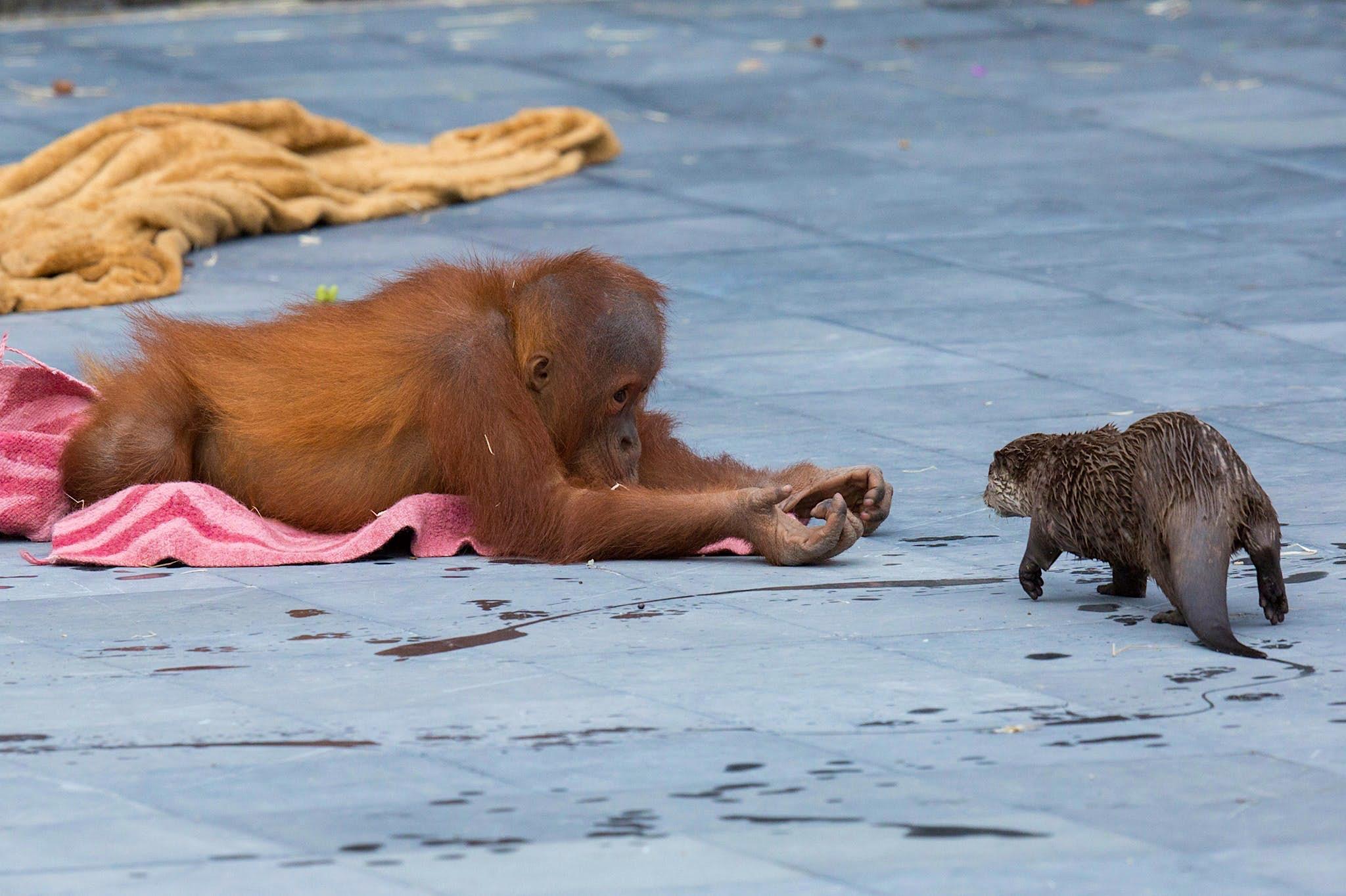 Un bebé orangután yace en el suelo con ambos brazos extendidos hacia una nutria (como si le ofreciera algo).