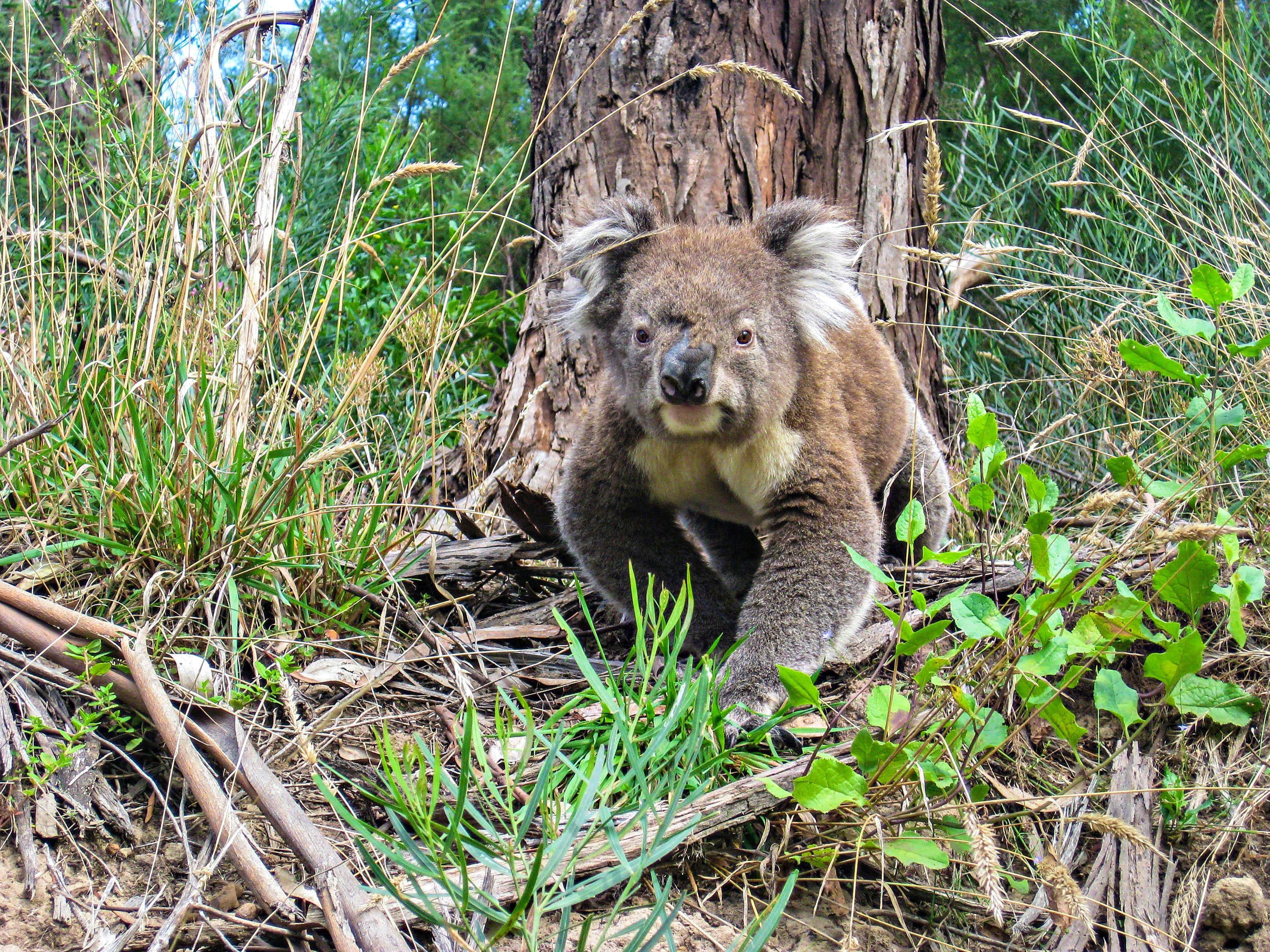A wild koala walking and looking at the camera in South Australia