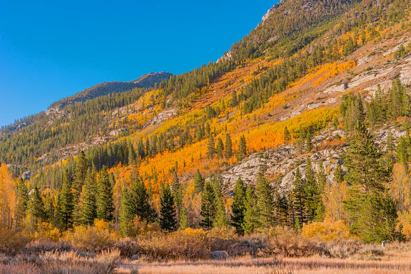 Yellow trees cover the gentle slope of a mountain as evergreen trees poke out here and there; Autumn colours