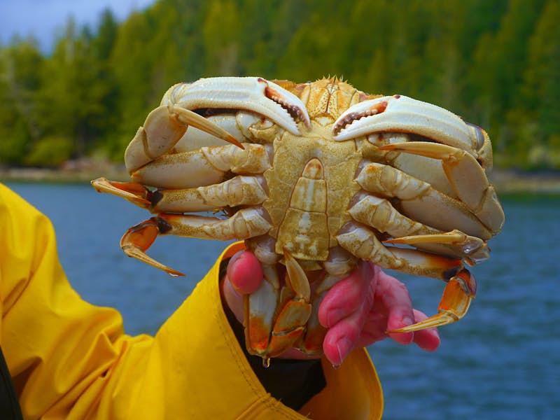 A hand, the fingers bright red from cold, holds an enormous crab with orange legs and a white underbody. The arm holding the crab is clad in a bright yellow rain slicker. Blurred in the background is the blue sea and the green, tree-lined shore.