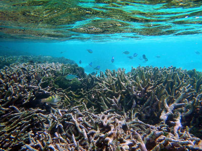 Green chromis fish swimming at low tide in Maldivian reef showing evidence of coral bleaching