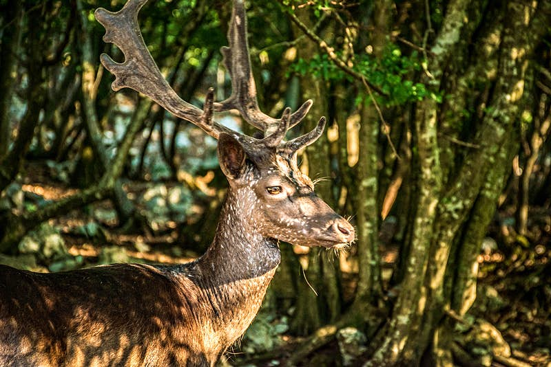 A brown, spotted dear sits in the speckled light in the forests of Cres, Kvarner Gulf
