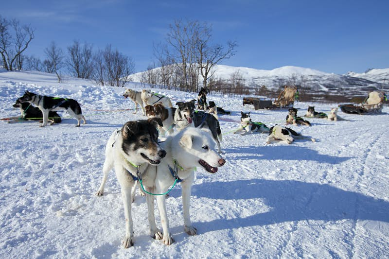 A group of dogs, some standing, others laying on the snow-covered field look around while still attached to an empty sled in the background