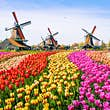 A large field of different coloured tulips creating a rainbow effect. In the background, three traditional windmills are visible.