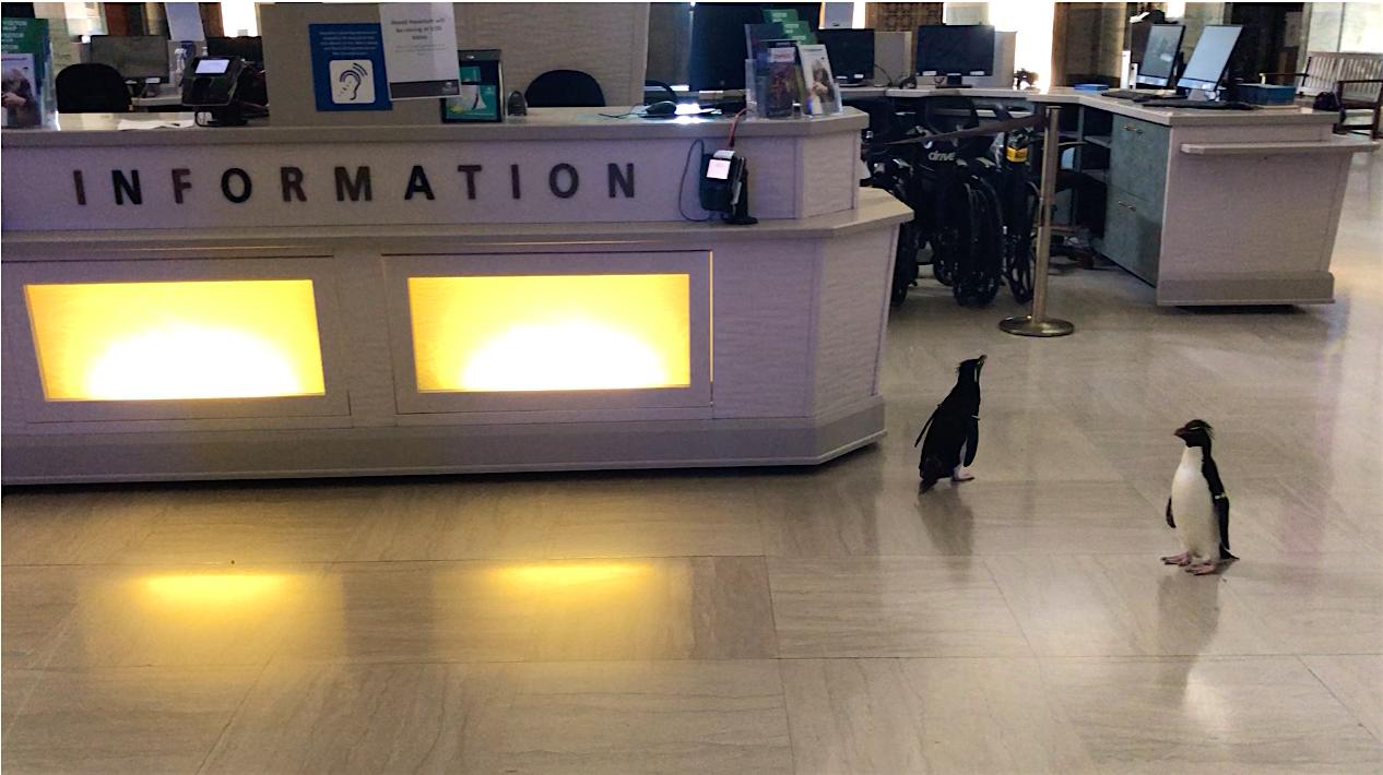 Los pingüinos emperador unidos Edward y Annie en el mostrador de información del acuario
