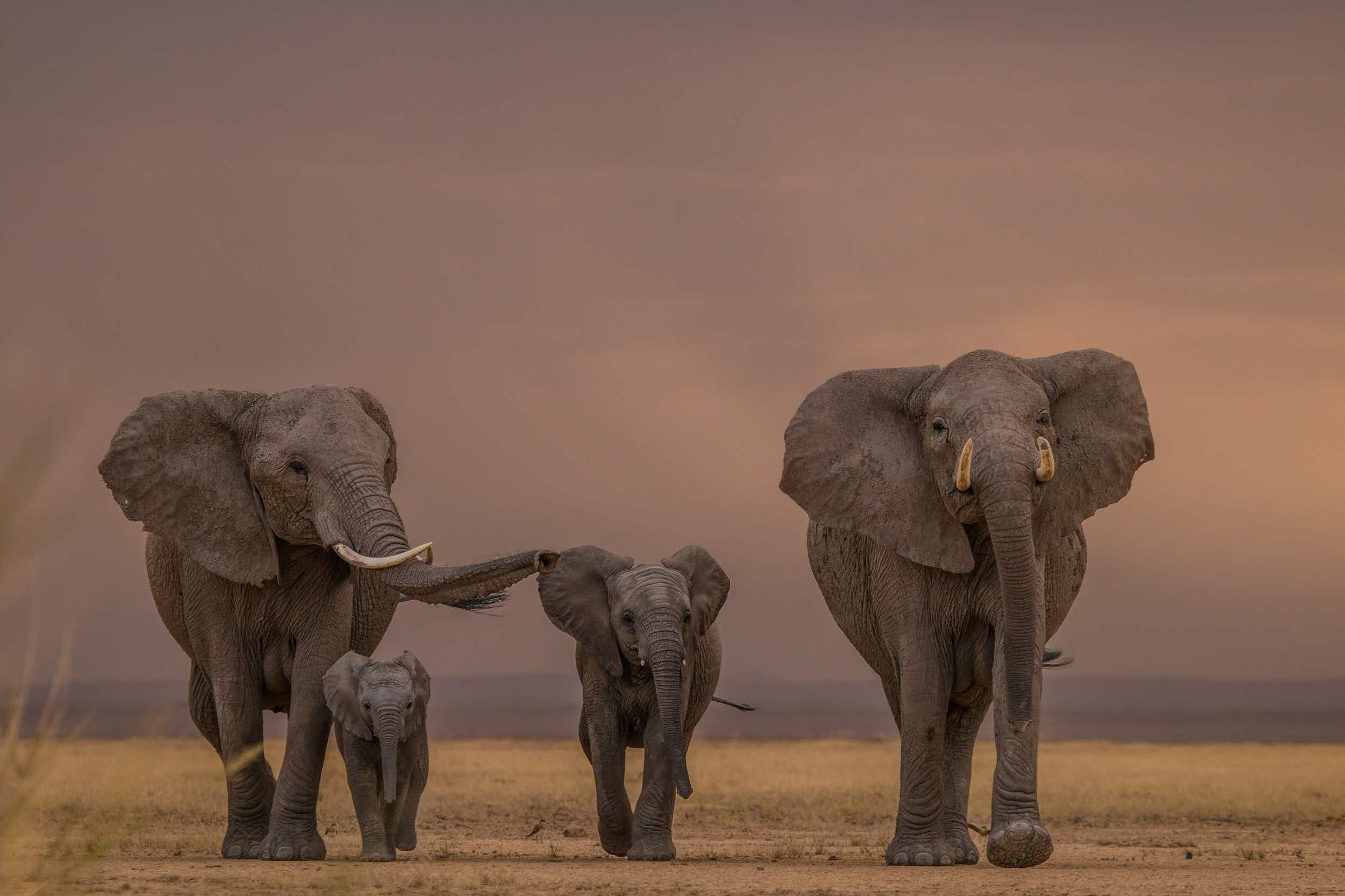 Whether little or large, elephants are one of the world's most iconic animals © Pieter Ras / 500px
