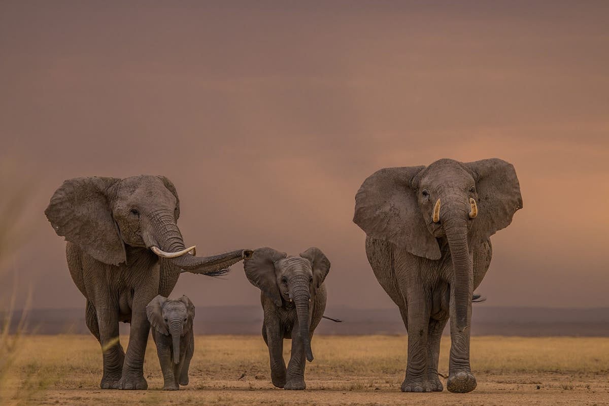 Where see to African elephants while on safari