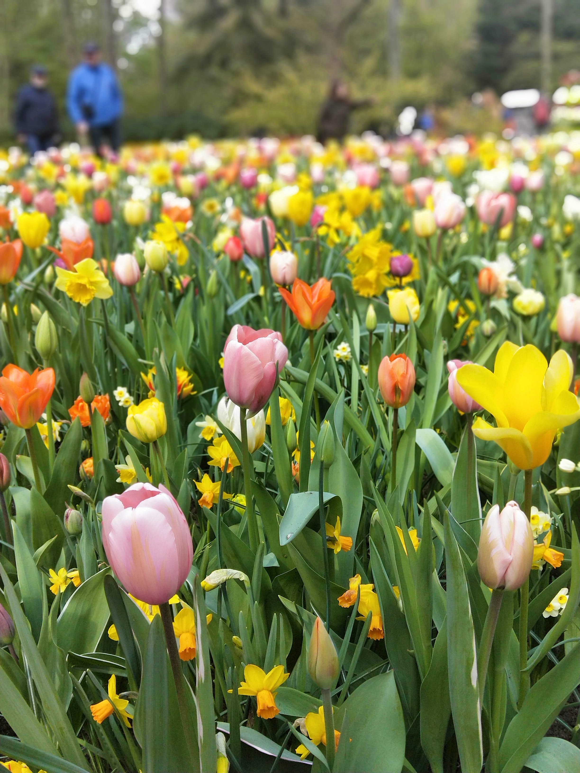 A close-up of some tulips in full bloom at Keukenhof Gardens, Lisse.