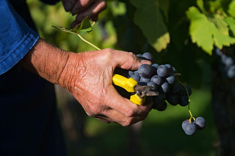 A man's tan hand extends from a blue denim sleeve on the left side of the frame, clutching yellow-handled pruning shears and red Trollinger grapes on a vine in Stuttgart Germany.