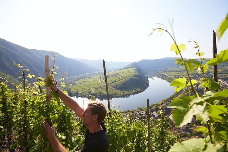 A winegrower in Rhineland-Palatinate tends his grape vines on steep hillsides overlooking the Rhine River, which cuts a U shape through blue-grey slopes in the background.