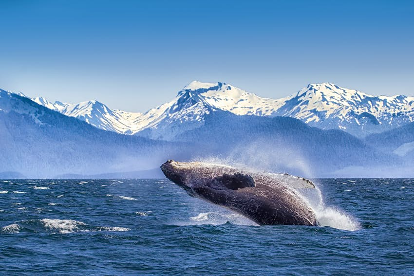 A dark grey humpback whale with a white underbelly breaches backwards out of the deep blue waters of Glacier Bay, surrounded by whitecaps and spray. In the background, jagged snow-capped peaks rise dramatically from the horizon, the hills in the midground almost the same denim blue as the sky. Scuba diving in national parks