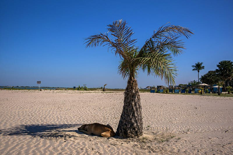 A single palm tree with a tan dog resting head in sand in the shade underneath in Cape Point, The Gambia