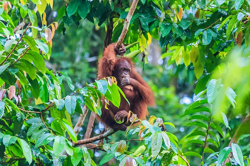 An orangutan eats while sitting in the tree tops in Borneo