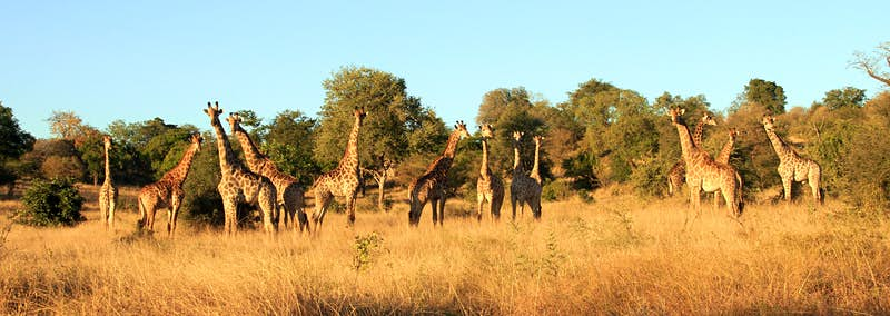 A group of 13 giraffe standing side-by-side in long grasses and backed by acacia trees; the light is golden with a blue sky above.