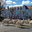 As residents stay home, goats are taking over the streets of this Welsh town
