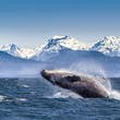 Breaching humpback whale against snowcapped mountains seen in the distance in  Glacier Bay National Park & Preserve, Alaska, United States.