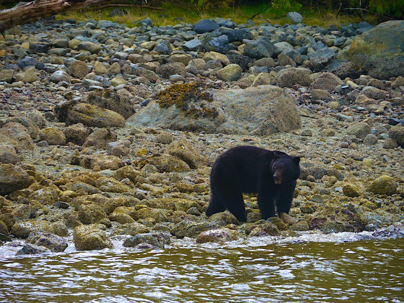 A black bear stands on the rocky shores of Tofino, its head turned over its right shoulder to look at something out of the frame. The rocks are covered in lichen and seaweed, while in the background they take on more of a grey color. Beyond the shore is a thin strip of bright green grass.
