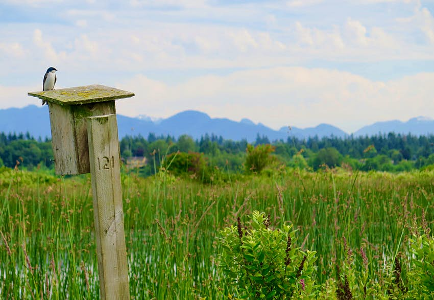 A small bird sits atop a bird house that is mounted on a piece of milled lumber; the rest of the scene is dominated by long grasses and marsh, immediately behind the bird house, while distant forests and mountains are in the background.