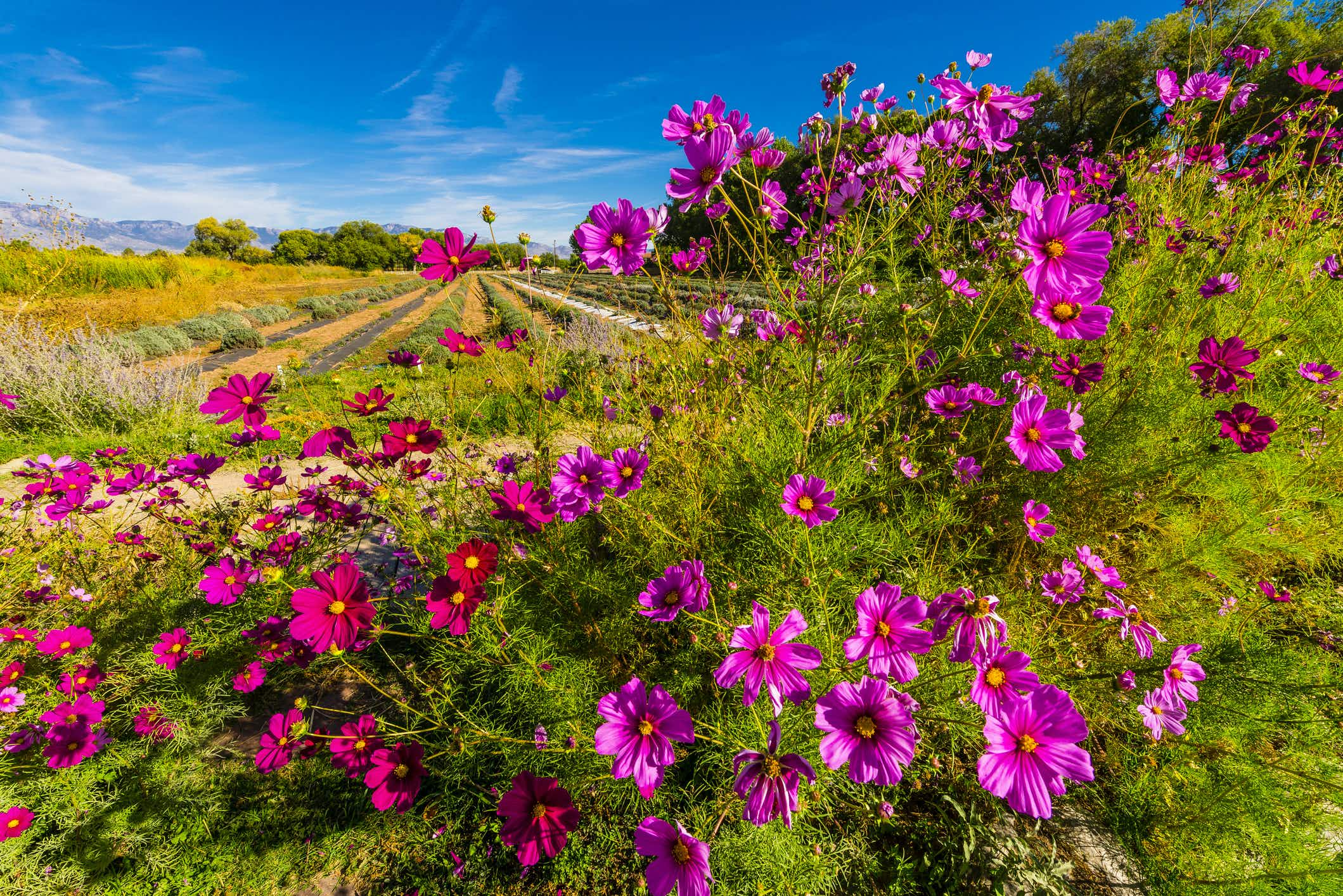 Wildflowers abound at this historic agritourism destination in Albuquerque. New Mexico ©Blaine Harrington III via Getty Images