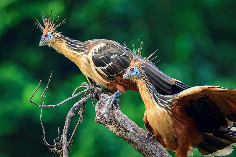 Two hoatzin birds on a branch in the Amazon