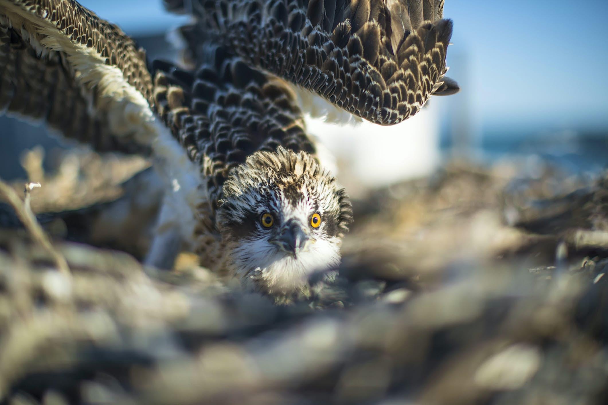 Águila pescadora en las islas Abrolhos