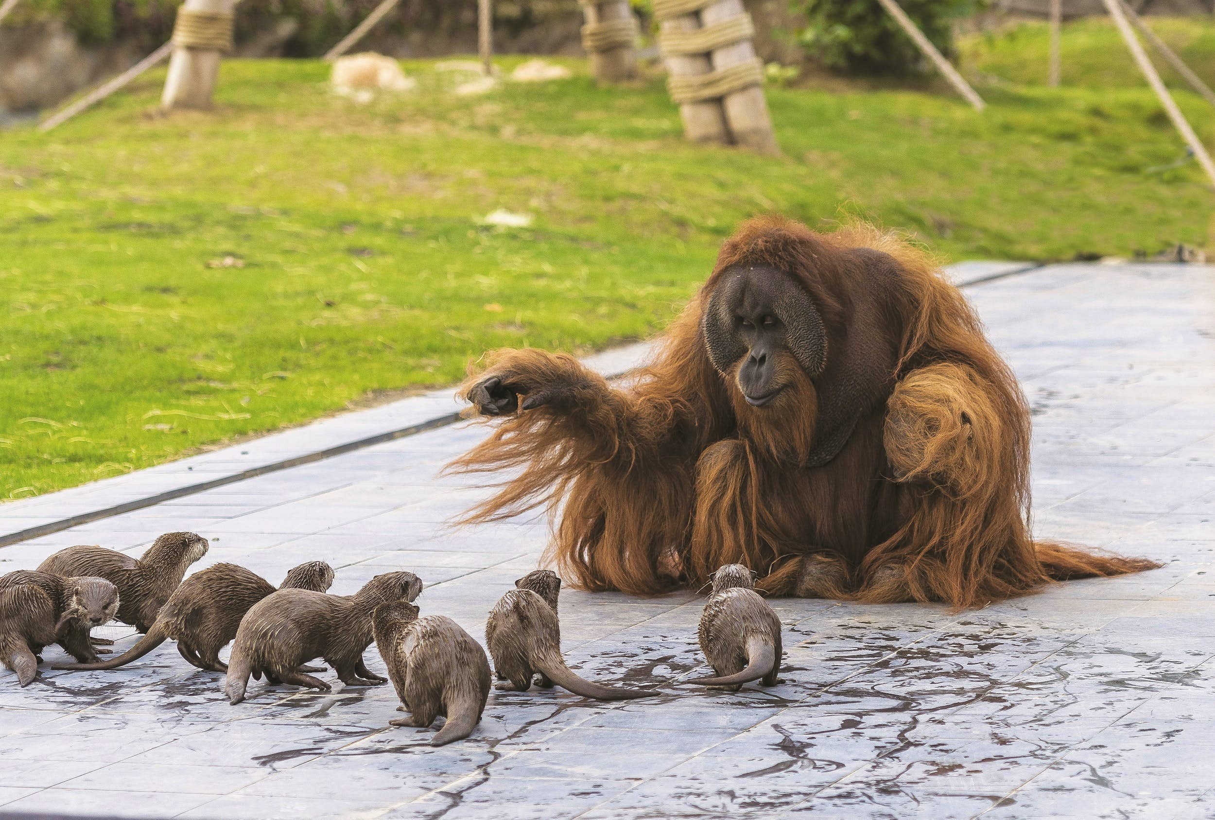 Un gran orangután macho (increíblemente peludo) señala a un grupo de nutrias a sus pies.