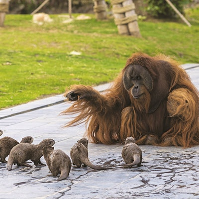 Orangutans befriend a romp of otters in Belgian zoo