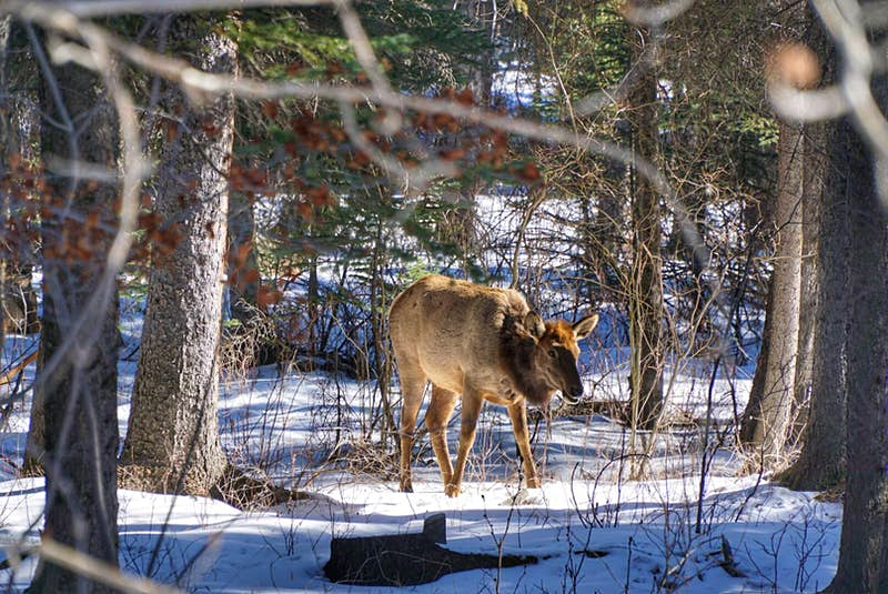 An elk stands on the snow amidst trees; its head is slightly lowered, as if cautious.