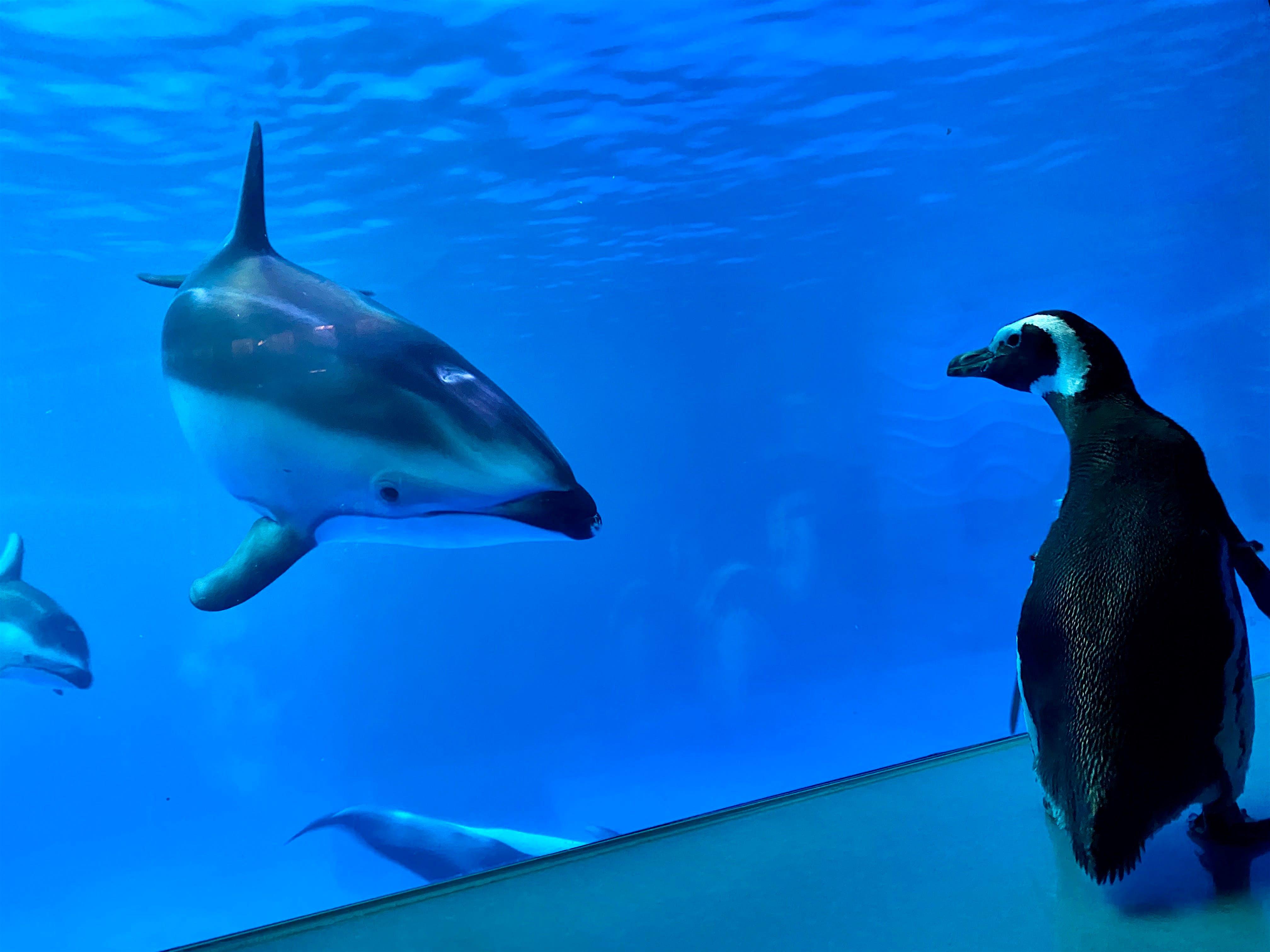 Monte el pingüino de Magallanes controla a los delfines del acuario