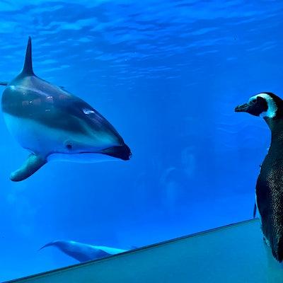 Coronavirus closed this Chicago aquarium, so the penguins went on a field trip