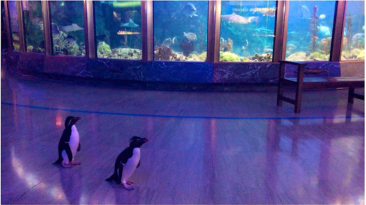 Los pingüinos Edward y Annie recorren el acuario.png