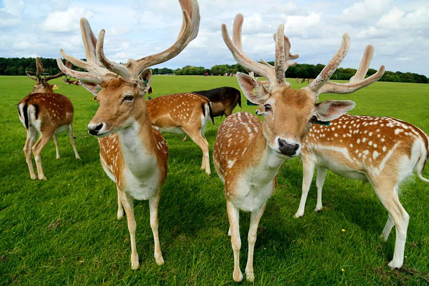 A herd of spotted deer look at the camera on a wide green field in Dublin