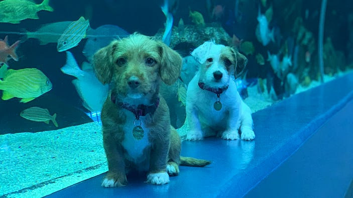 Two puppies from the Humane Society in front of a tank at the Georgia Aquarium