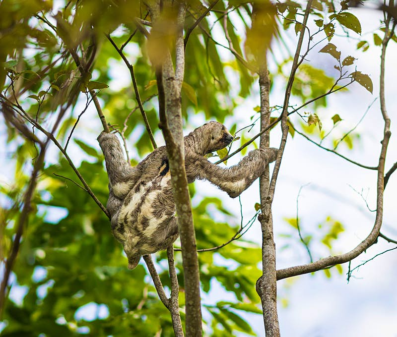 A sloth reaches across to a branch in a tree.