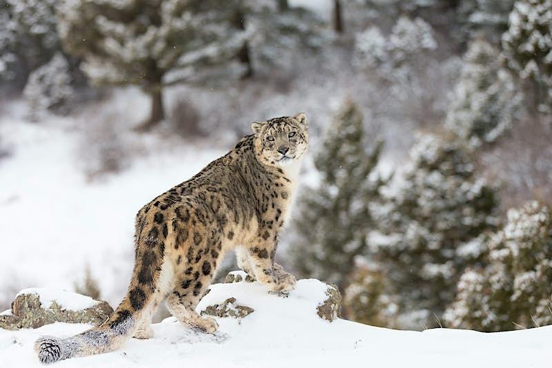 Rare and elusive Snow Leopard in winter snow